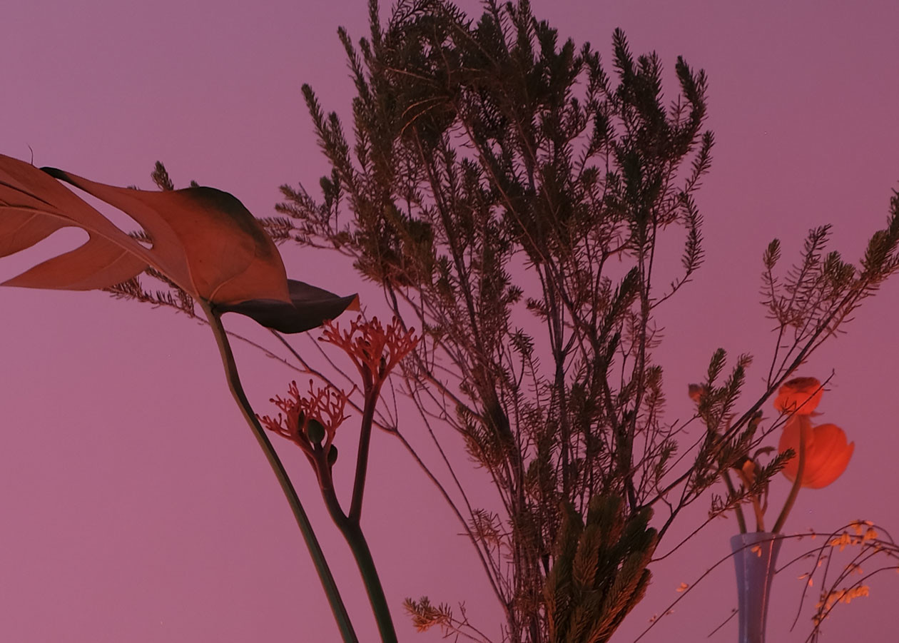 Jatropha podagrica - © Bigtime.